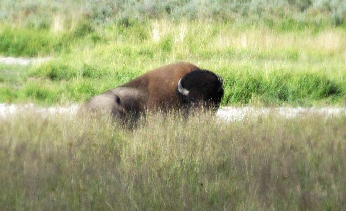 buffalofocus