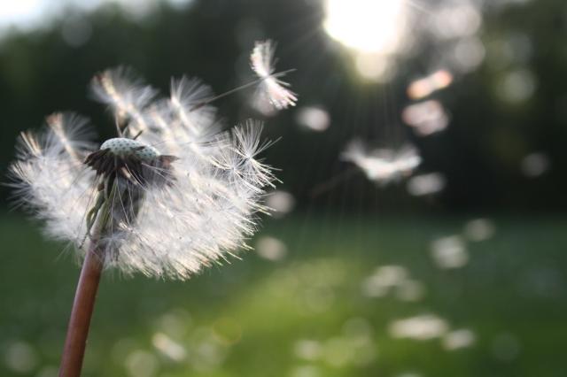 dandelion-in-wind