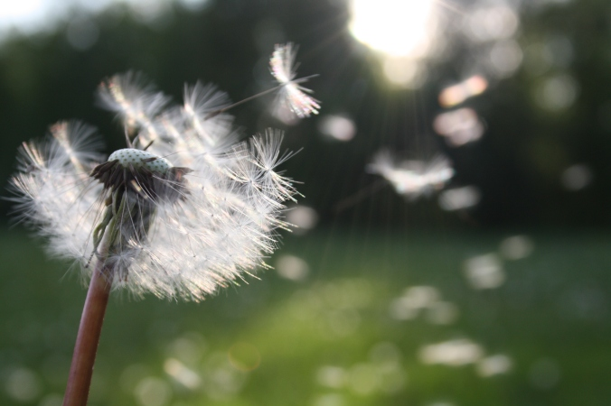dandelion-in-wind